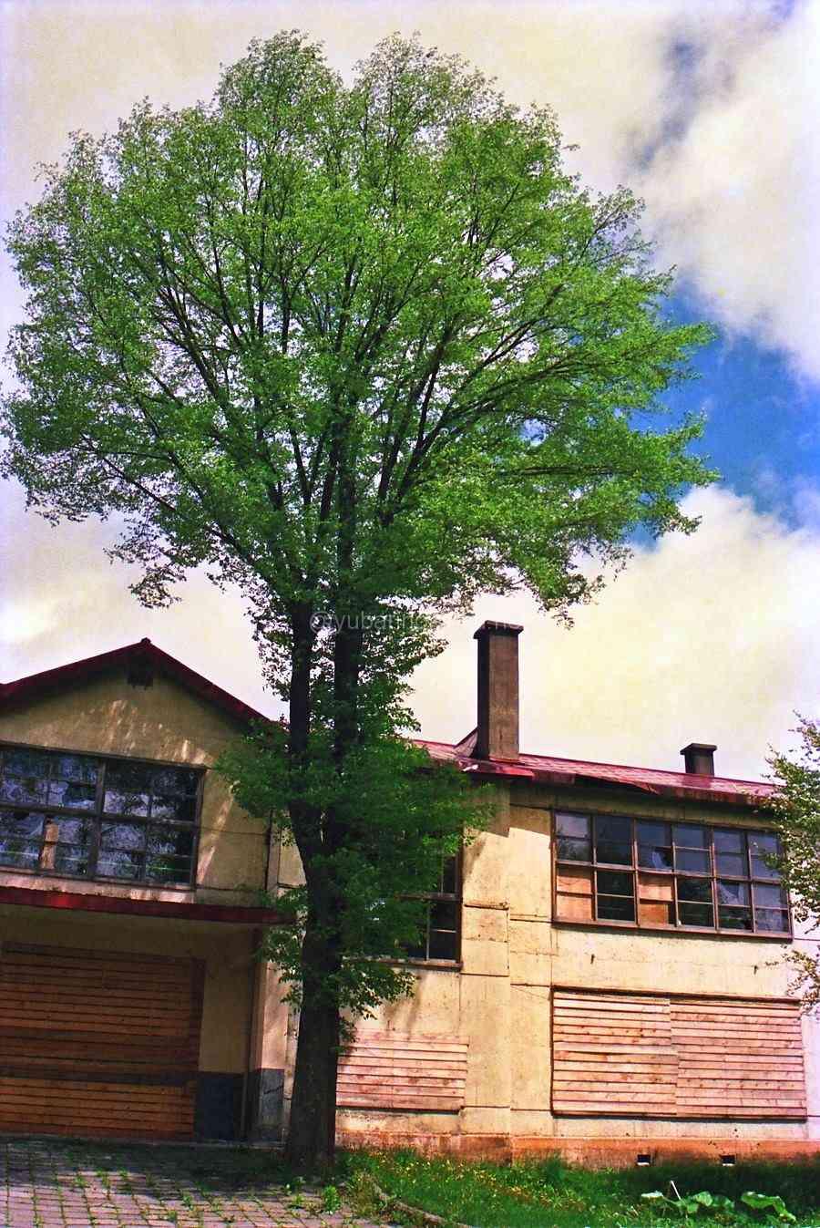 1990年旧清水沢小学校校舎と木